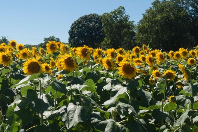 2016sept_sunflowers5